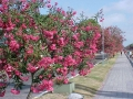 Flores canalete